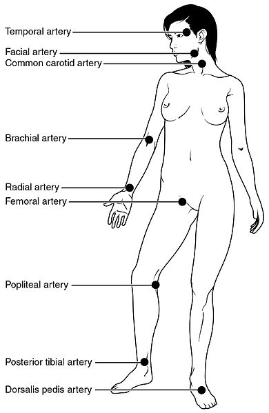 human pulse points labeled, including major arteries throughout the body from head and neck to the ankles