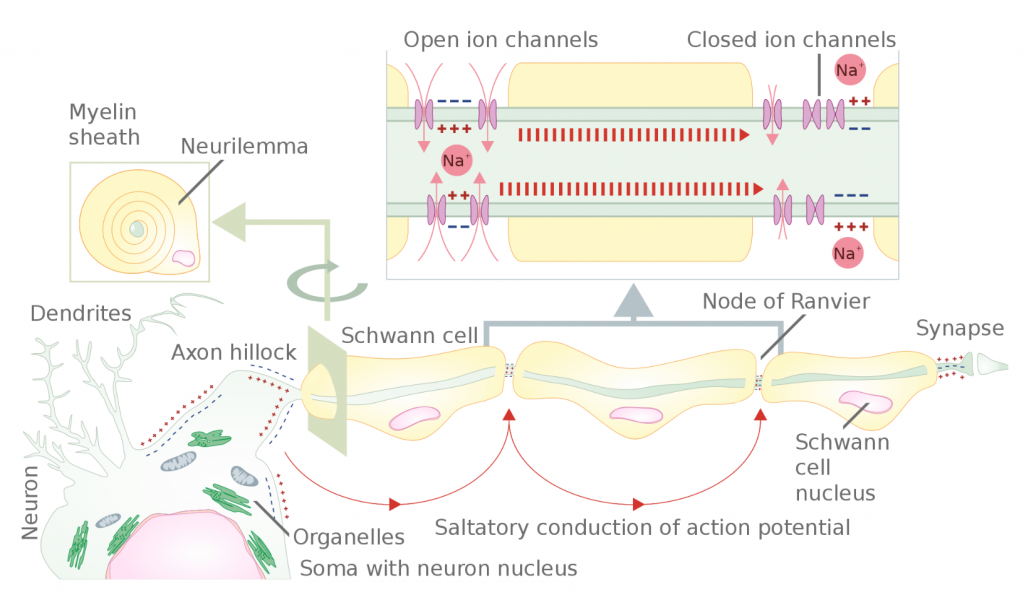 Saltatory conduction of an action potential
