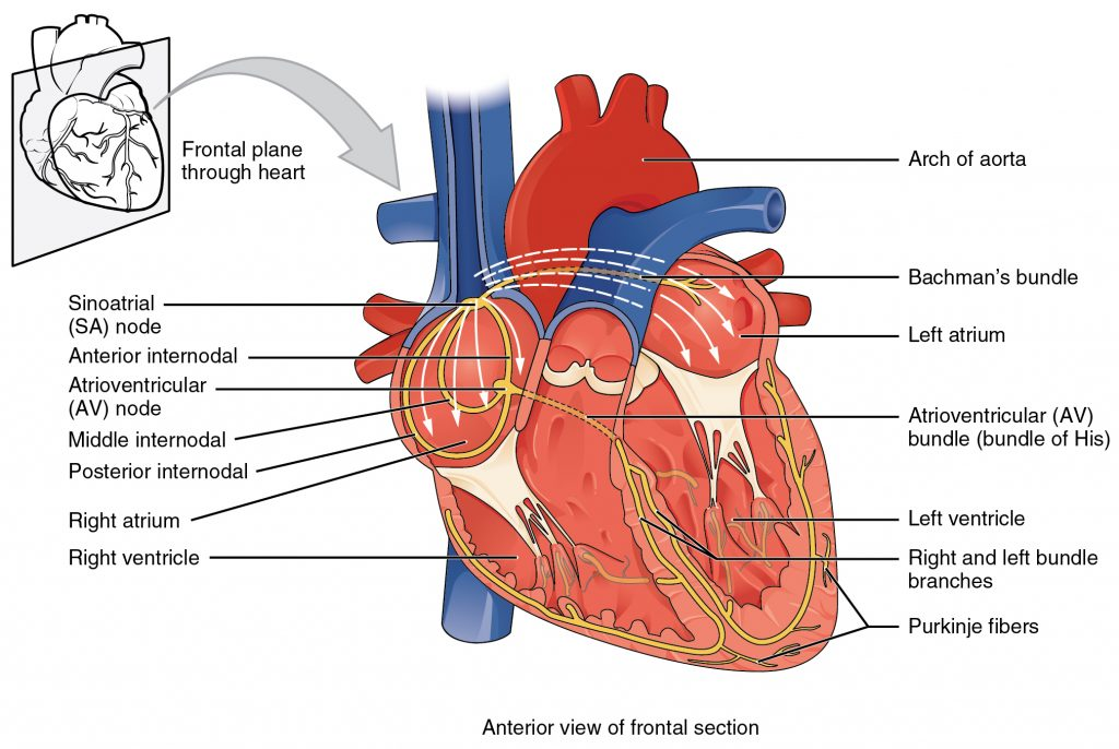 electrical conduction system of the heart labeled