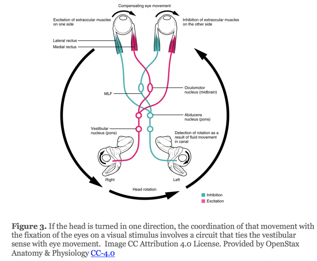 If the head is turned in one direction, the coordination of that movement with the fixation of the eyes on a visual stimulus involves a circuit that ties the vestibular sense with eye movement.